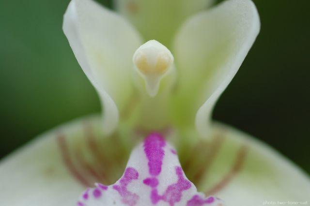Sedirea japonica.jpg